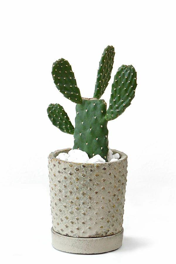 観葉植物 通販 ウチワサボテンスミエボシグリーンアンティークポット