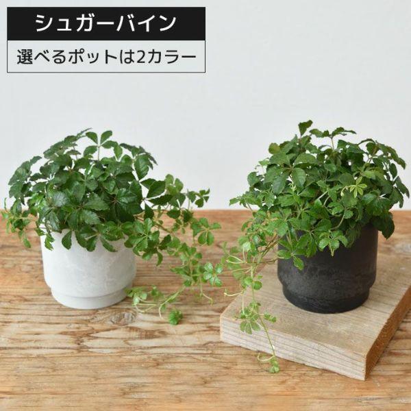 観葉植物 シュガーバインマットホワイトポット マットブラックポット MN020006