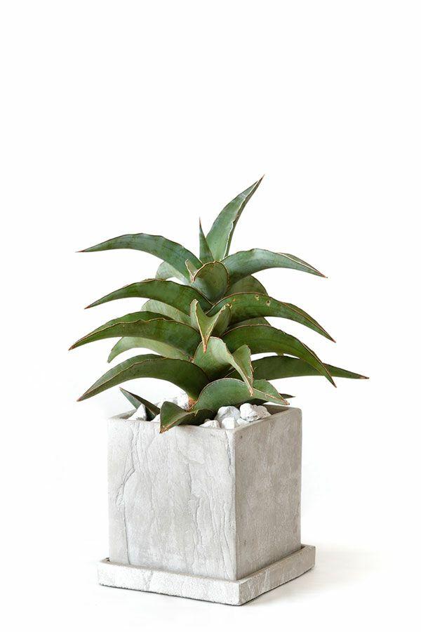 観葉植物 通販 サンセベリア・ブルーキューストーンキューブポットMN060003