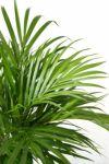 観葉植物 通販 アレカヤシ 8号セラアート鉢 CR060016