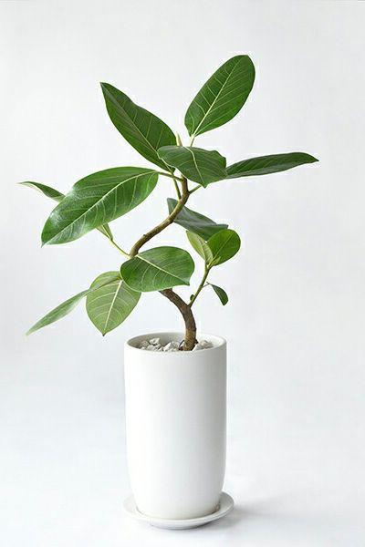 フィカス・アルテシーマ・バリエガタ曲がり樹形 マットホワイトトールポットST080041