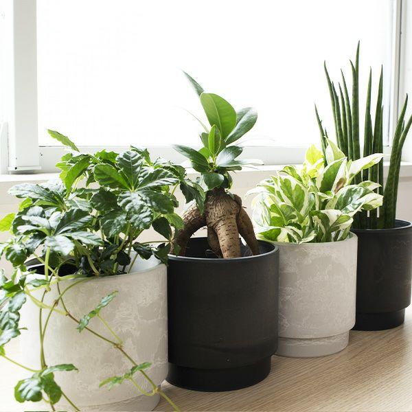 観葉植物 通販 選べる ミニ観葉植物2カラーマットポット ホワイト&ブラックガジュマル ポトス サンスベリアペペロミア シュガーバイン