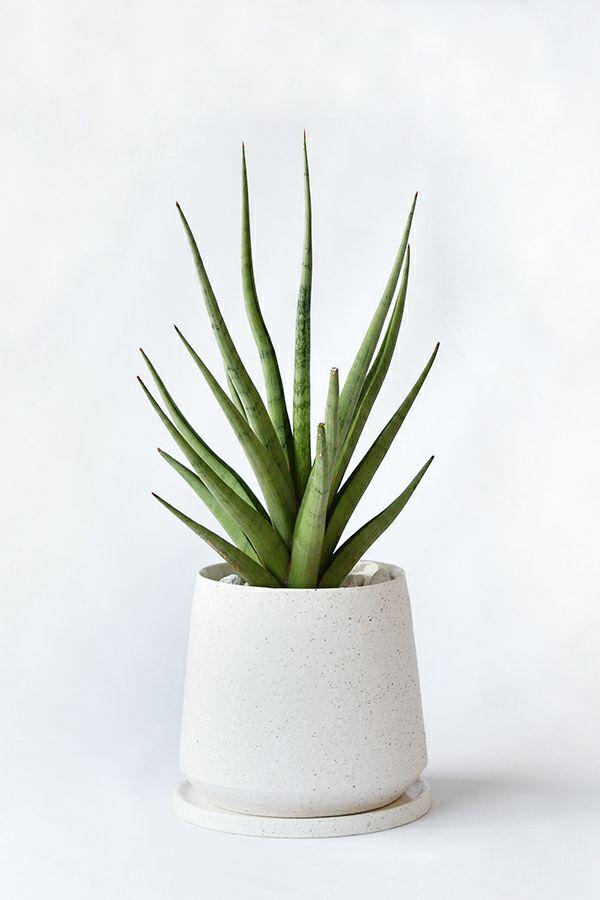 観葉植物 通販 サンセベリア・グラシリス白陶器ポットMN060004
