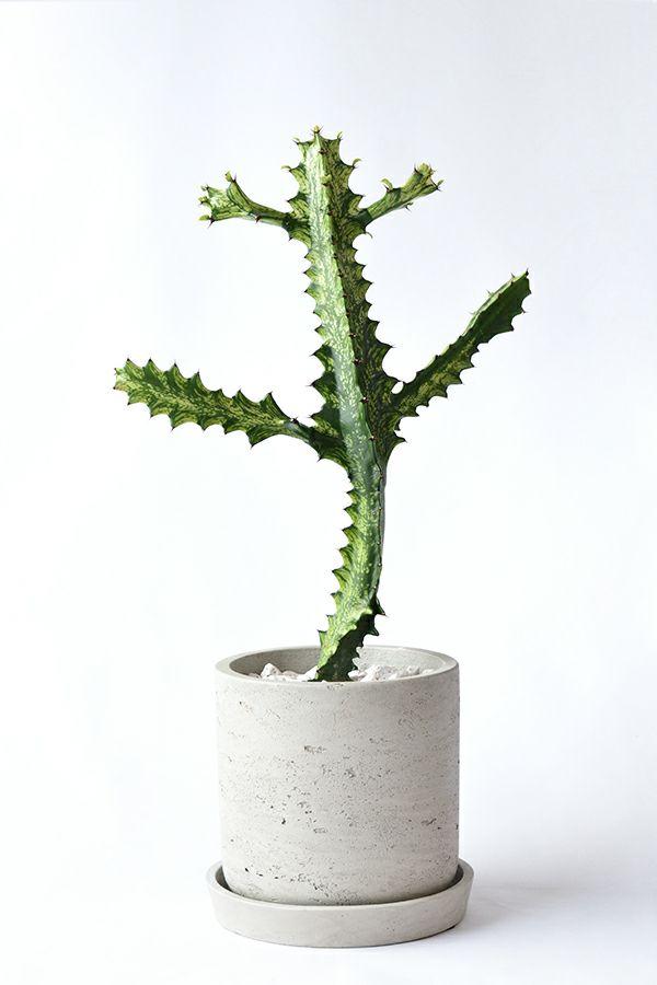 現品 観葉植物 希少ユーフォルビア・イエローゴースト ラクテアビザールプランツ 珍奇植物