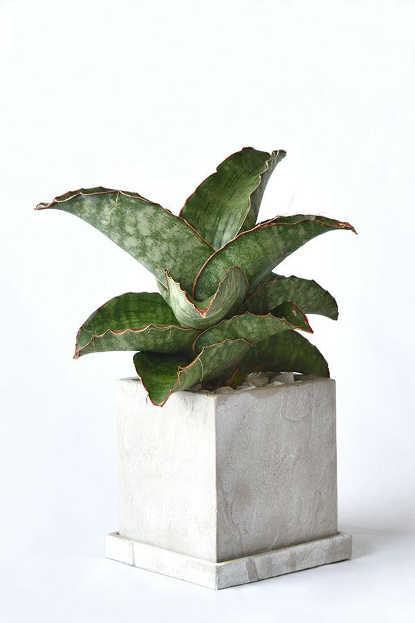 観葉植物 通販 希少 サンセベリア・ドラゴンウィング ストーンキューブポット MN060005