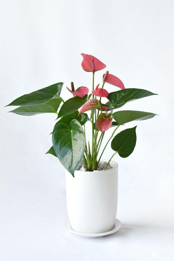 観葉植物 通販 アンスリウム ロイヤルピンクチャンピオン マットホワイト ショートポット MN040028