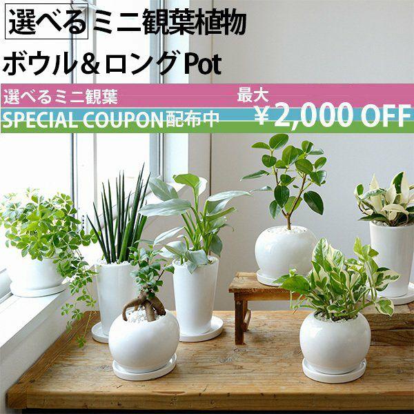 選べる ミニ 観葉植物 ボウル&ロング ホワイトポット ガジュマル ポトス サンスベリアペペロミア シュガーバイン